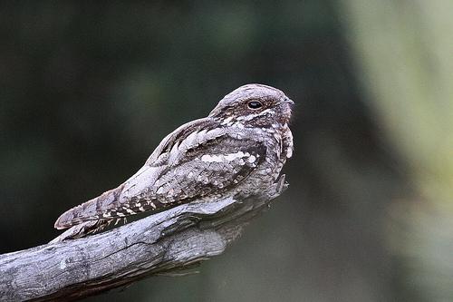 Nachtzwaluw