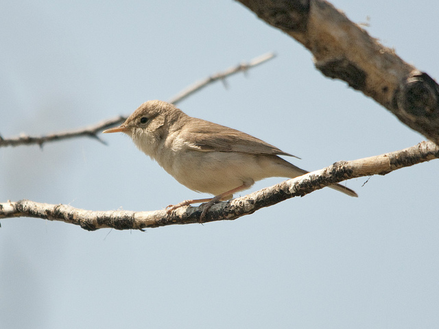 Sykes'Spotvogel