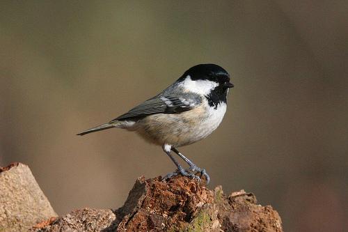 mees vogel